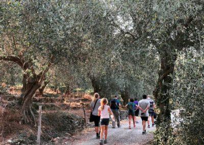 tra gli olivi